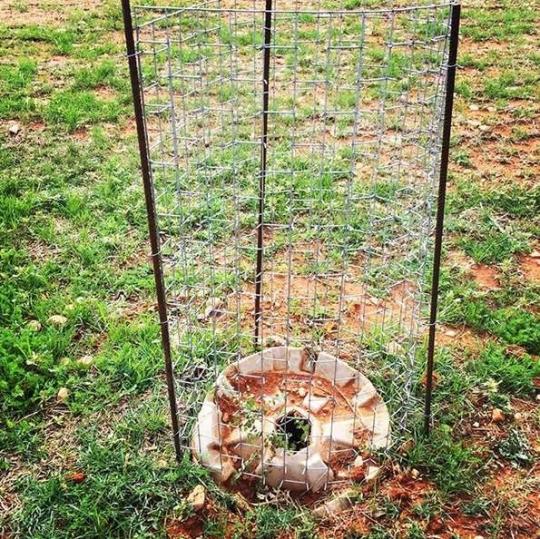Resultado óptimo por ahora con Quercus Ilex plantado en junio con Cocoon