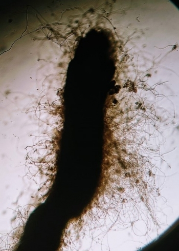 Detail of mycorrhizas of Tuber aestivum in adult oak from Finca Muñovela