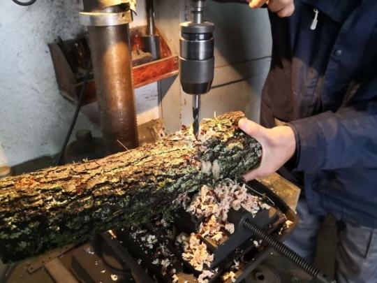 Produciendo setas comestibles
